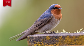 Welcome Swallow 01
